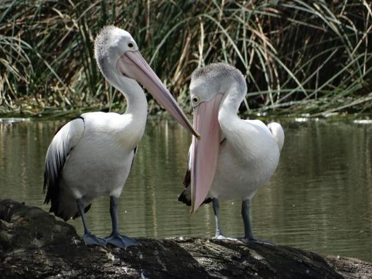 Pelicans - Mount Barker Wetlands