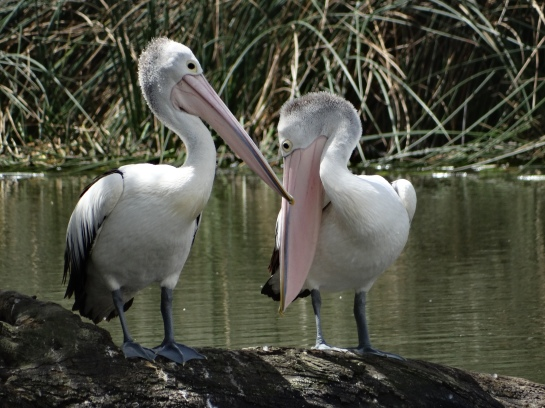 Pelicans - Mount Barker Wetlands